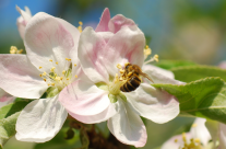 Obstblüten (Kirschbaumblüten)
